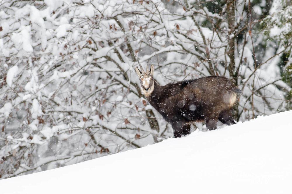 Au coeur de l'hiver, le chamois reste stoïque dans la tempête de neige.