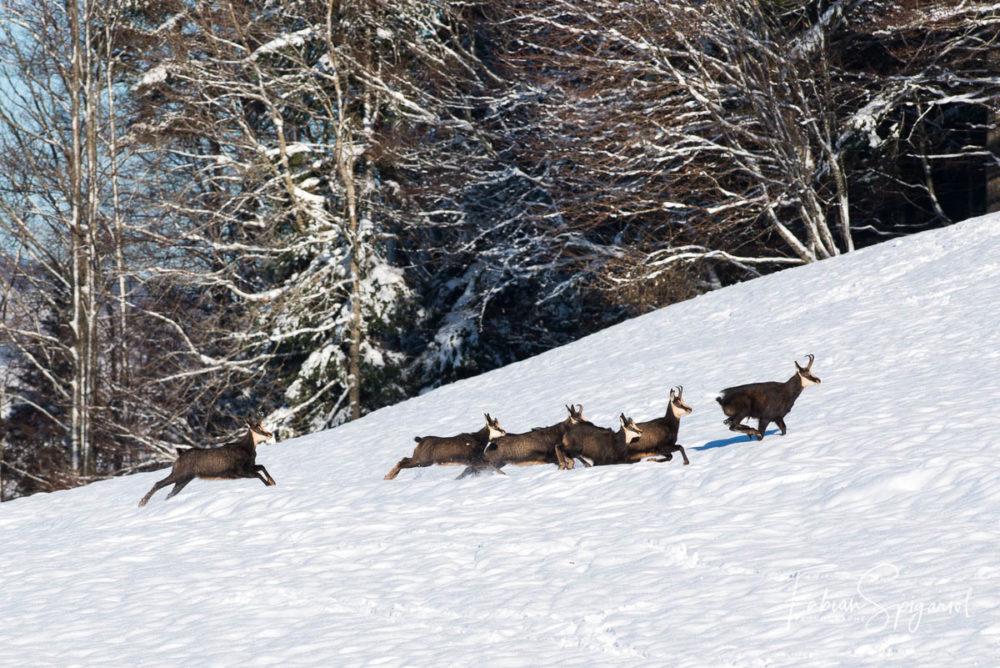 Echaudé par ses hormones, le bouc initie une course folle à travers le paturage boisé des crêtes du Val-de-Travers,