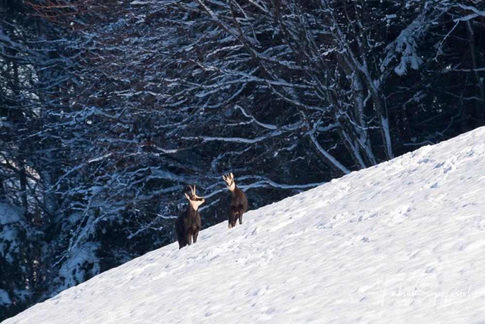 Dans la pente enneigée, les chamois quittent la forêt pour débuter leur quête d'herbes enfouies sous la neige.
