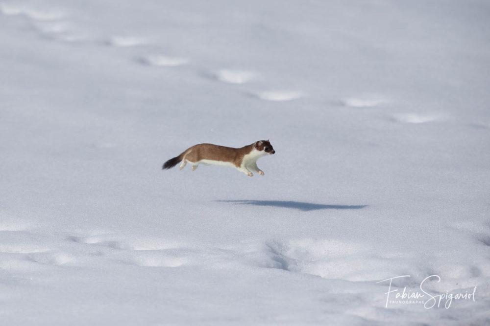 La photographie a figé l'hermine en pleine lévitation sur la neige printanière des crêtes du Val-de-Travers.
