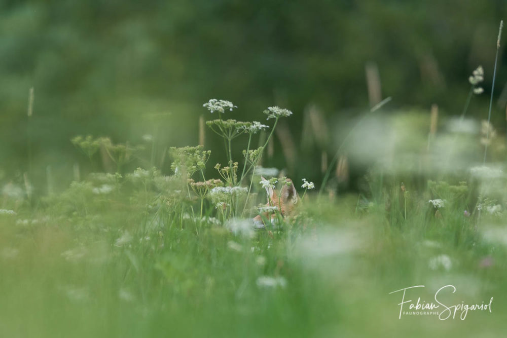 Lorsque le renard quitte son terrier et se lance dans le paturage boisé non-fauché, croiser son regard est un défi.