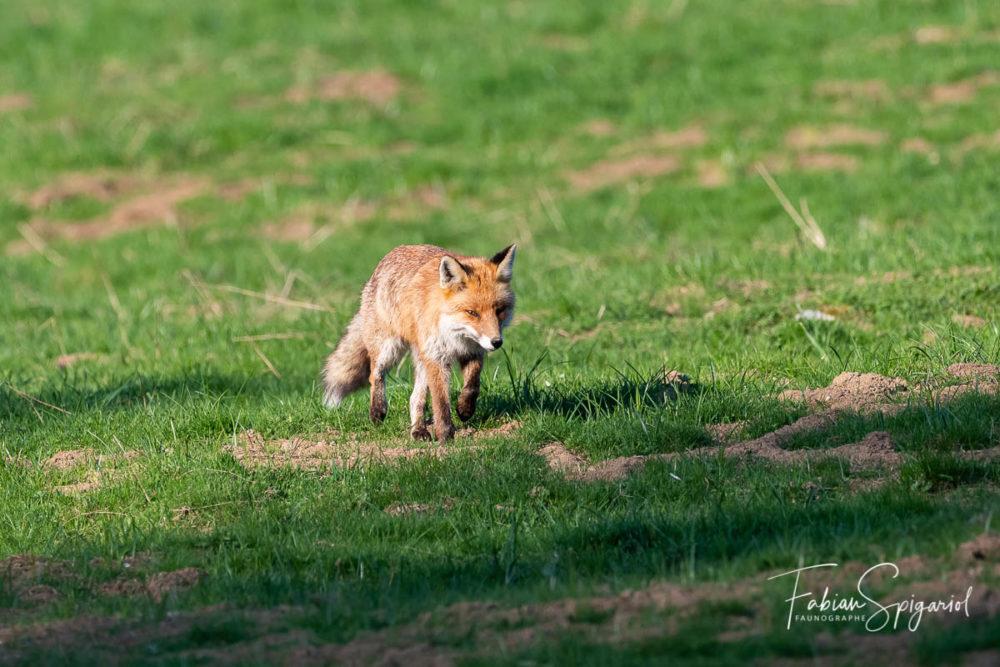 D'un pas pressé, le renard parcoure le paturage boisé en espérant débusquer un campagnol.