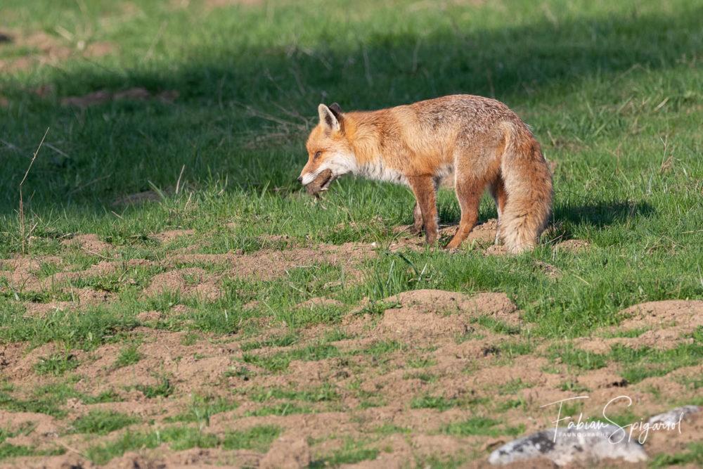 Un campagnol roussâtre sert de repas à ce renard roux.