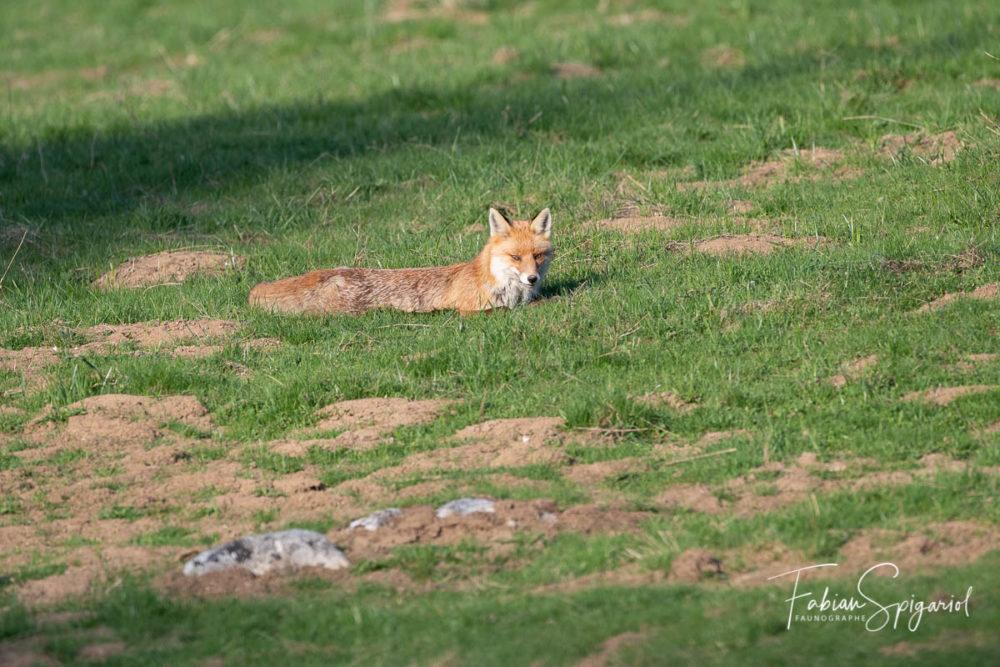 Gracieux, ce renard s'est offert quelques instants de repos à quelques pas de mon affût, dans un paturage boisé du Val-de-Travers.