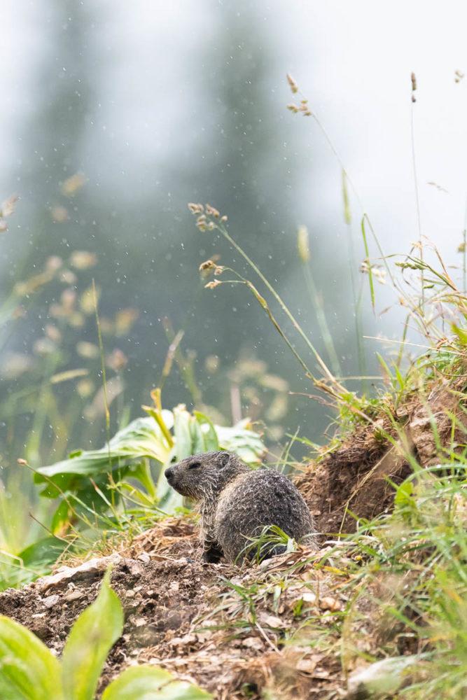Après une longue hésitation, ce jeune marmotton s'est décidé à quitter les tréfonds de son terrier pour se mouiller sous une averse estivale.