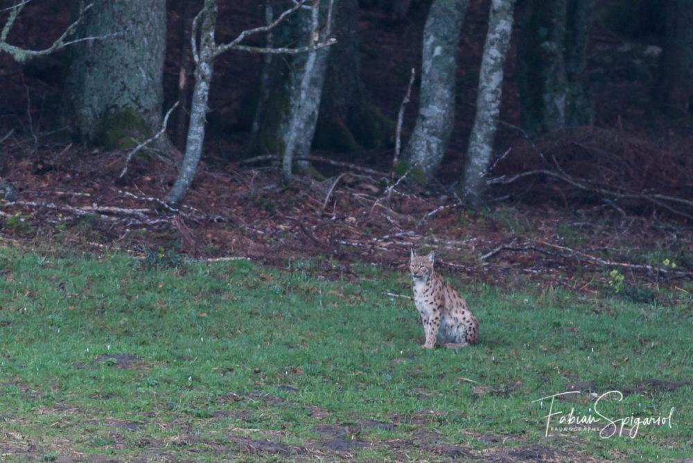 Une rencontre inoubliable un matin de mai peu avant le lever du jour avec le lynx boréal dans les environs du Va-de-Travers.