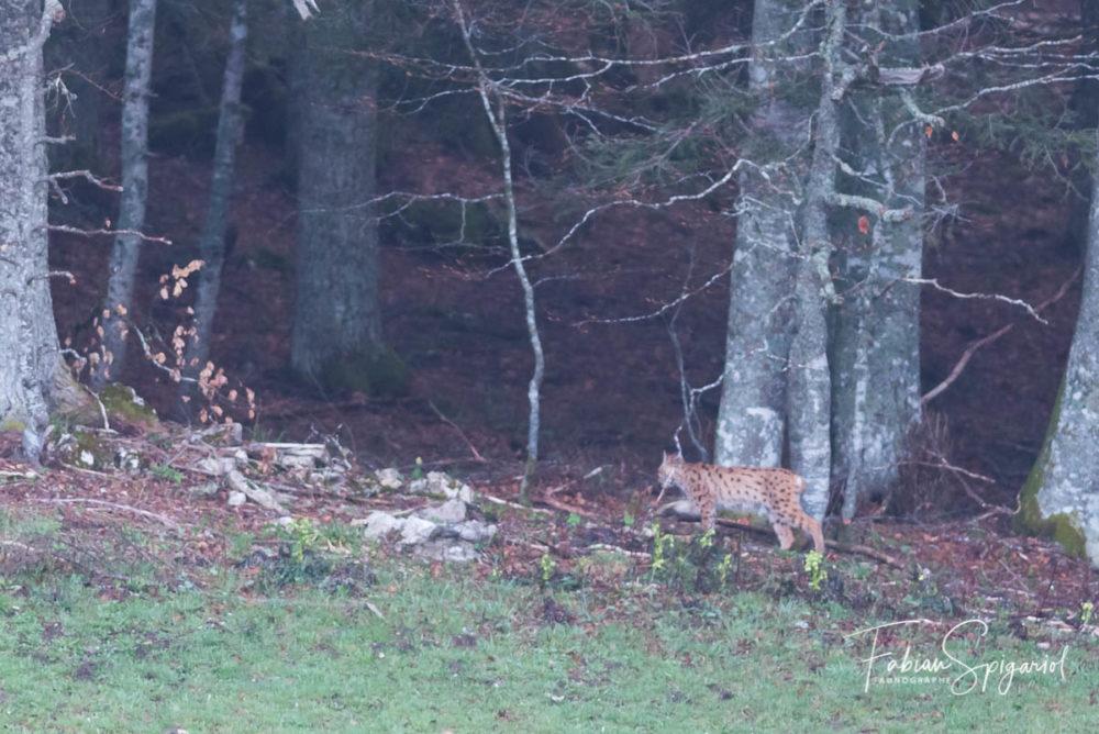 Après de longues minutes passées assis dans le champ, le lynx choisi de poursuivre son chemin et s'éclispe dans la forêt.