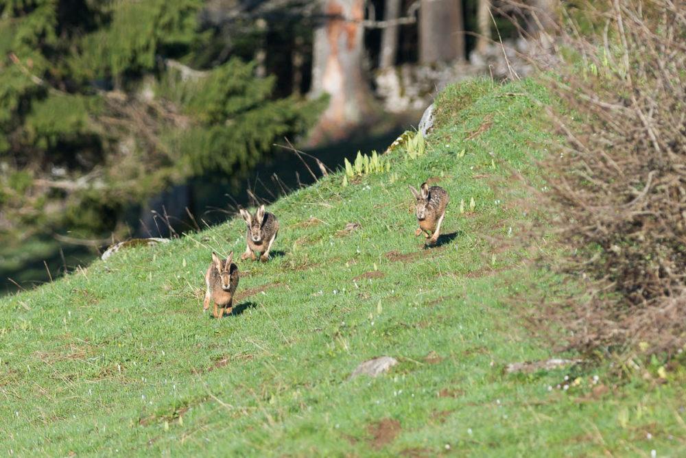 Trois lièvres surpris en plein bouquinage dans un champ rempli de crocus des hauteurs du Val-de-Travers