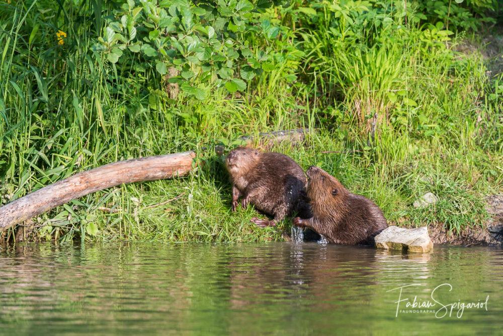 Territorial, le castor ne tolère pas la présence d'un intrus sur sa berge de rivière...