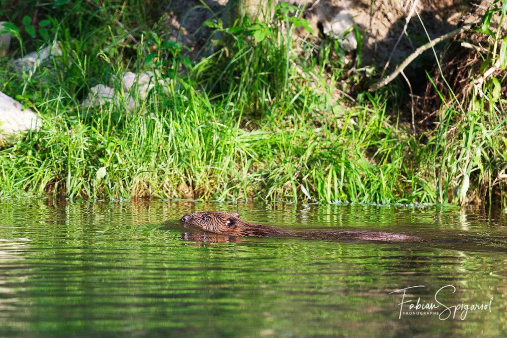 Fendant l'eau sans un bruit, le castor neuchâtelois vogue sur la rivière telle une torpille silencieuse.