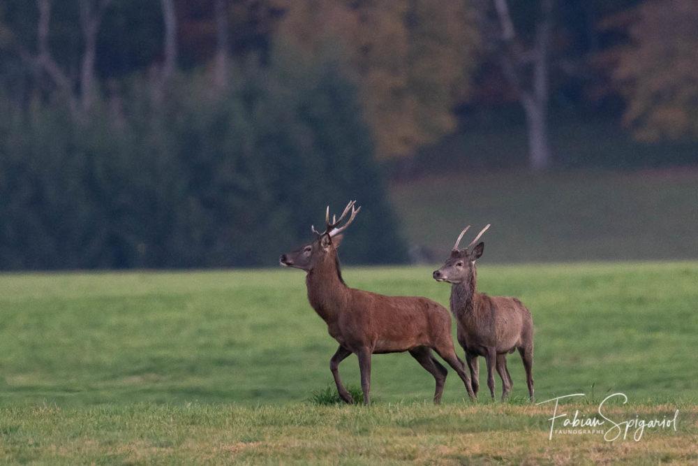 Dans les dernières lueurs du jour, le cerf et le daguet sortent dans le paturage boisé pour se nourrir.