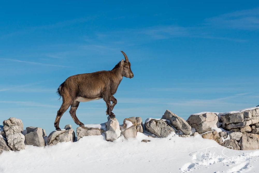 Lorsque la couche de neige au sol en permet pas de se déplacer aisément, l'étagne choisi de grimper sur le mur de pierre sèche qui entoure le cirque du Creux-du-Van pour se tirer de ce mauvais pas... (Bouquetin des alpes / capra ibex).