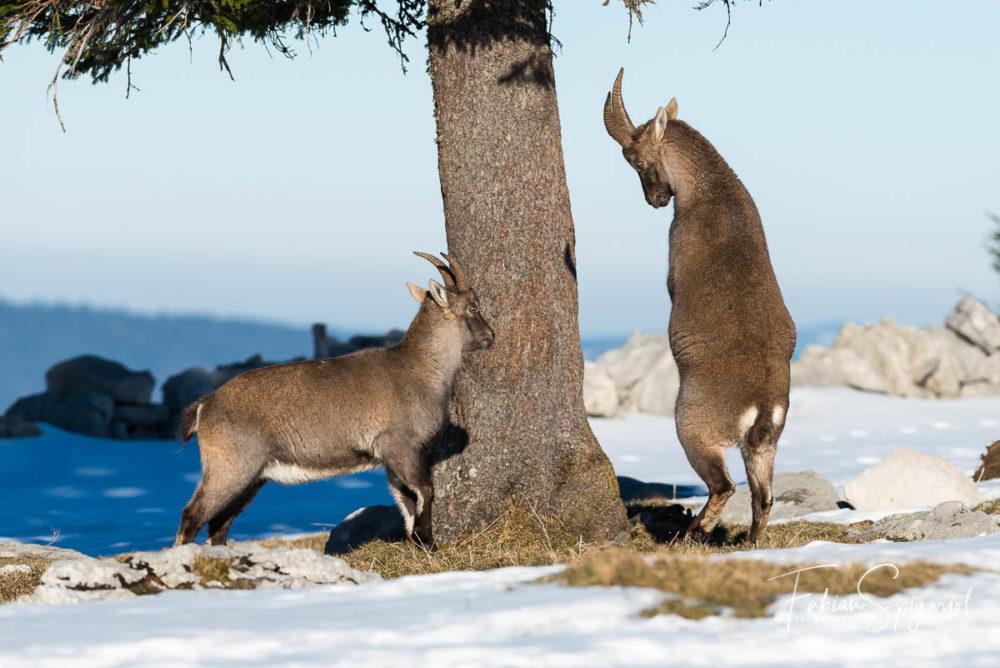 Lorsque la tension monte, les conflits se règlent à grand coups de corne chez les bouquetins, mâles ou femelles... (Bouquetin des alpes / capra ibex)