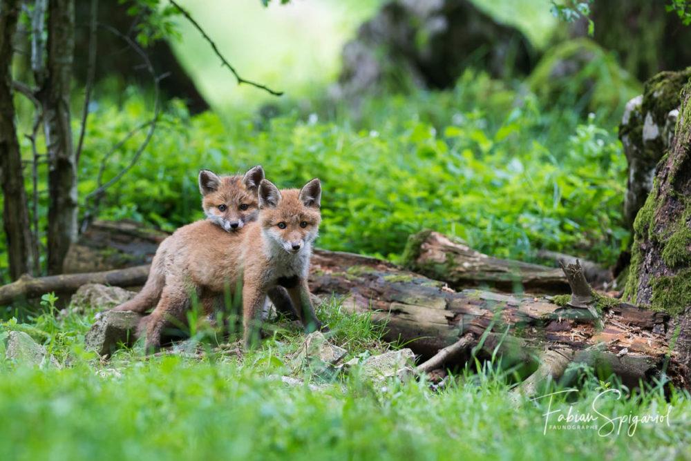 Deux renardeaux observés en sous-bois dans un moment de complicité.