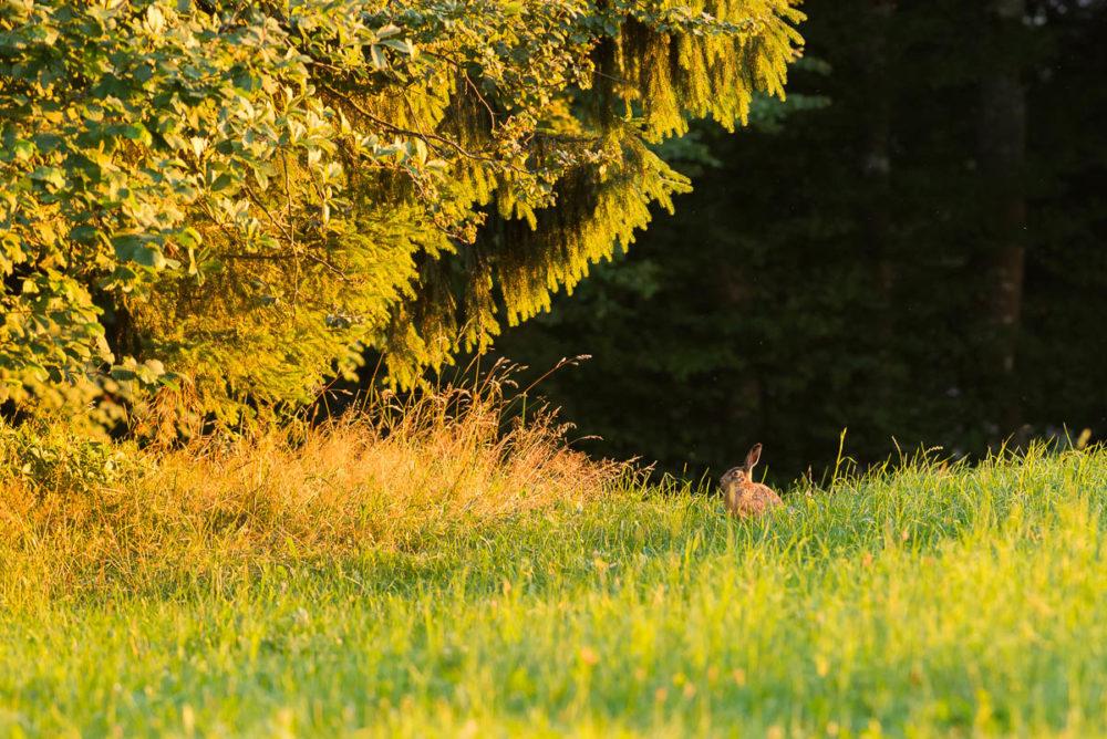 Semblant profiter des derniers rayons solaires avant la nuit, le lièvre brun se tient immobile en lisière de forêt.