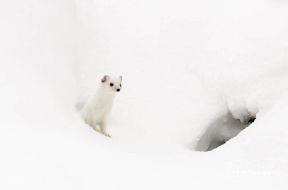 Au coeur de l'hiver dans la vallée de la Brévine, l'hermine est recouverte de son blanc manteau. Seuls ses yeux, son museau et le bout de sa queue noires trahissent sa présence sur la neige immaculée. Toujours sur ses gardes, cette hermine ne restera que quelques secondes en surface avant de retourner se cacher dans les profondeurs d'une galerie de neige.