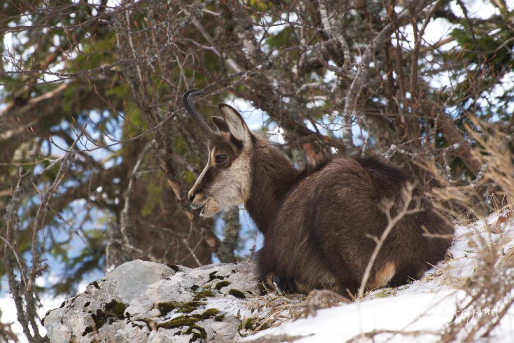 Alongé à l'abri du vent sous un arbre sec, ce chamois compte sur le mimétisme de son pelage pour passer inaperçu.
