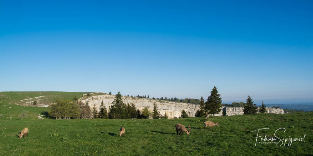 Troupeau de bouquetins au sommet du Creux-du-Van.