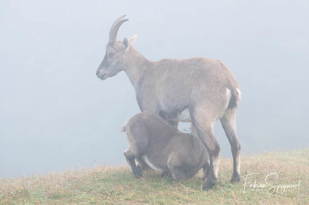 Jeune cabri qui tête sa mère sur les hauteurs du Creux-du-Van.