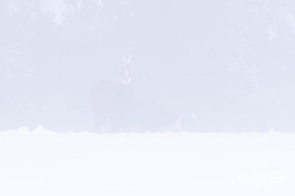 Lorsqu'un épais brouillard recouvre les paturages boisés enneigés, les chamois du Val-de-Travers apparaissent et disparaissent au gré des vents.