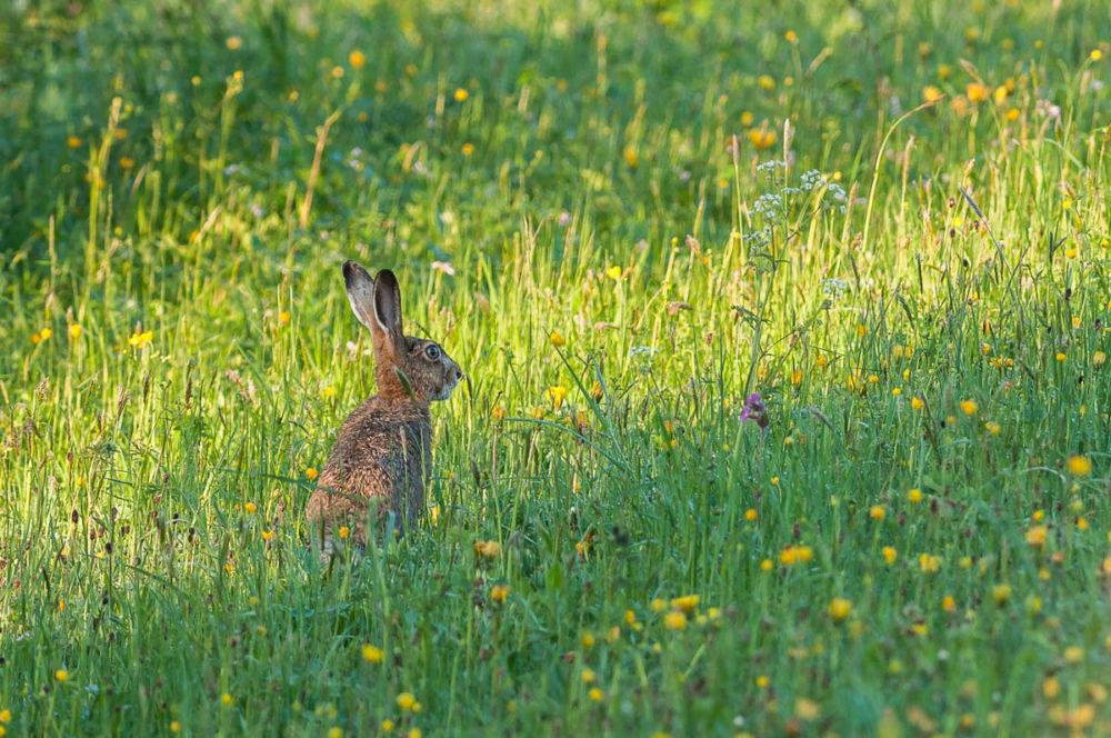 Comme par enchantement, ce lièvre brun s'est dressé dans un paturage fleuri pour me montrer ses grandes oreilles.
