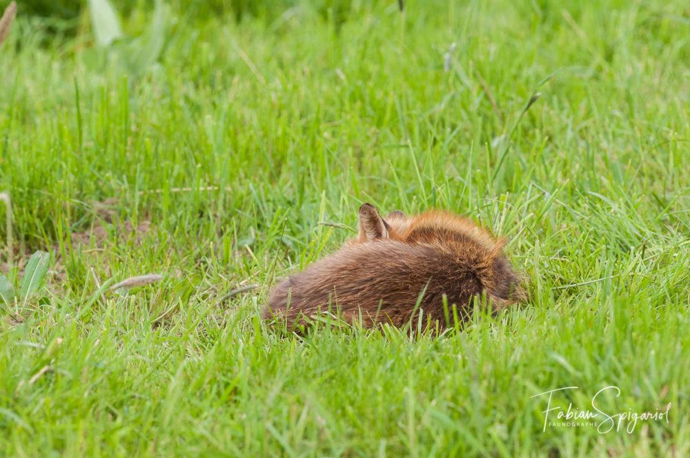 Même endormi au milieu d'un paturage boisé, le renard garde l'oreille bien ouverte à l'affût du moindre danger...