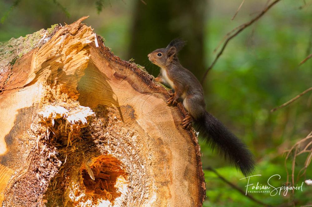 Croisé au détour d'un chemin forestier, cet écureuil roux faisait quelques acrobaties sur une souche fraichement coupée.