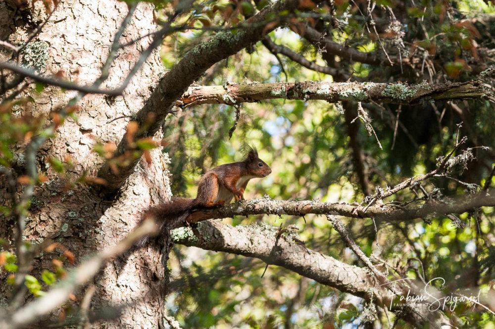 L'agilité de l'écureuil roux sautant de branche en branche n'a d'égal que sa rapidité.