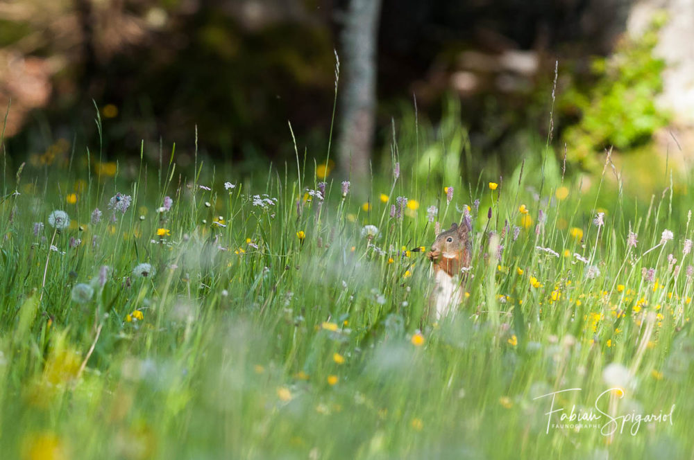 Camouflé dans la végétation, cet écureuil roux s'offre un en-cas dans la réserve du Creux-du-Van.