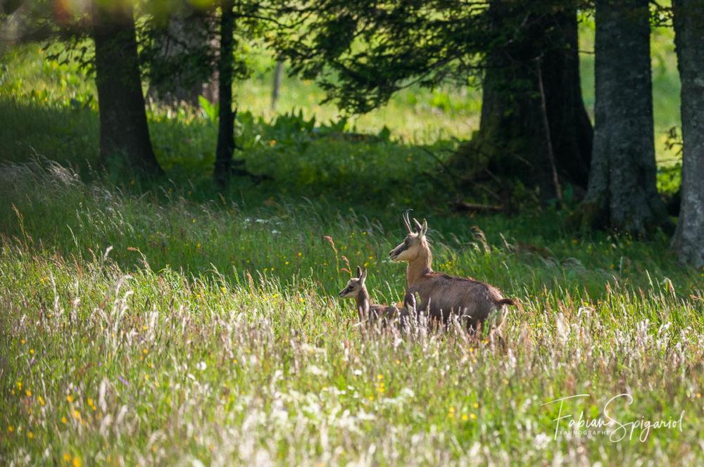 Bien dissimulés dans les hautes herbes du mois de juin, ce jeune cabri âgé d'à peine quelques semaines ne quitte pas sa maman d'une semelle...