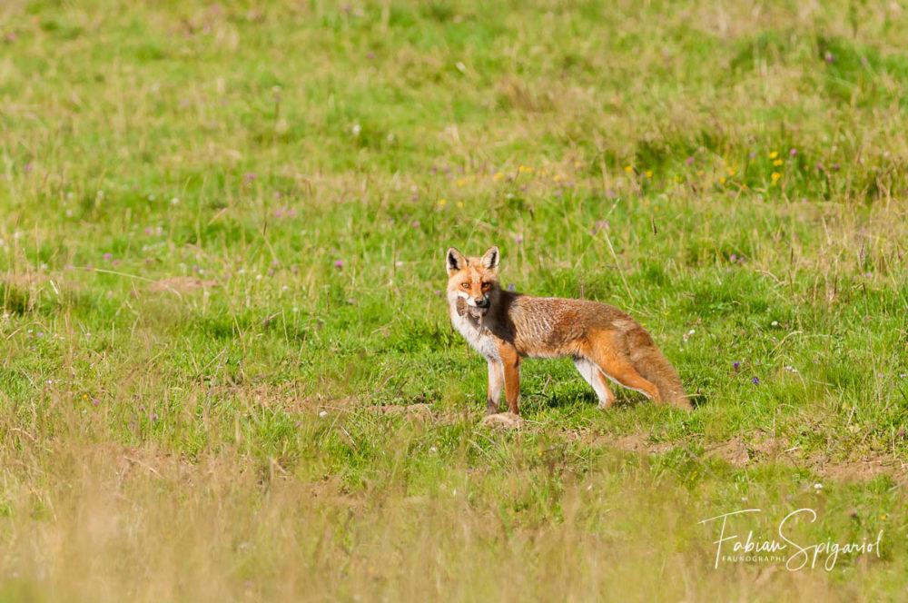 Durant l'heure dorée, le renard roux a choisi de passer avec son souper à proximité d'un photographe extasié...