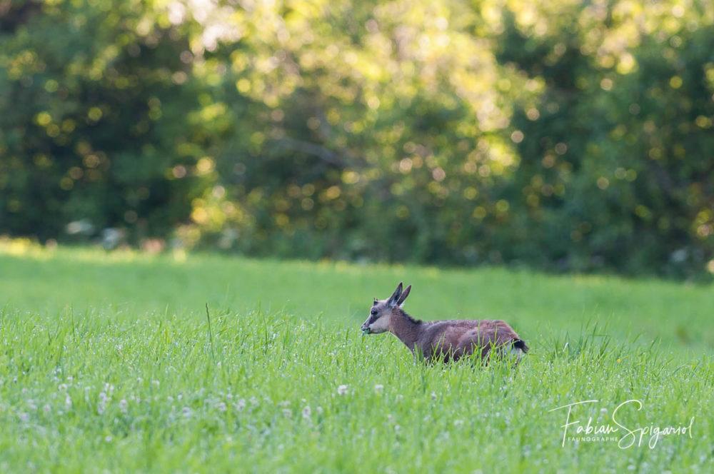 Dans la rosée du matin, ce jeune chamois broute ses premières herbes.