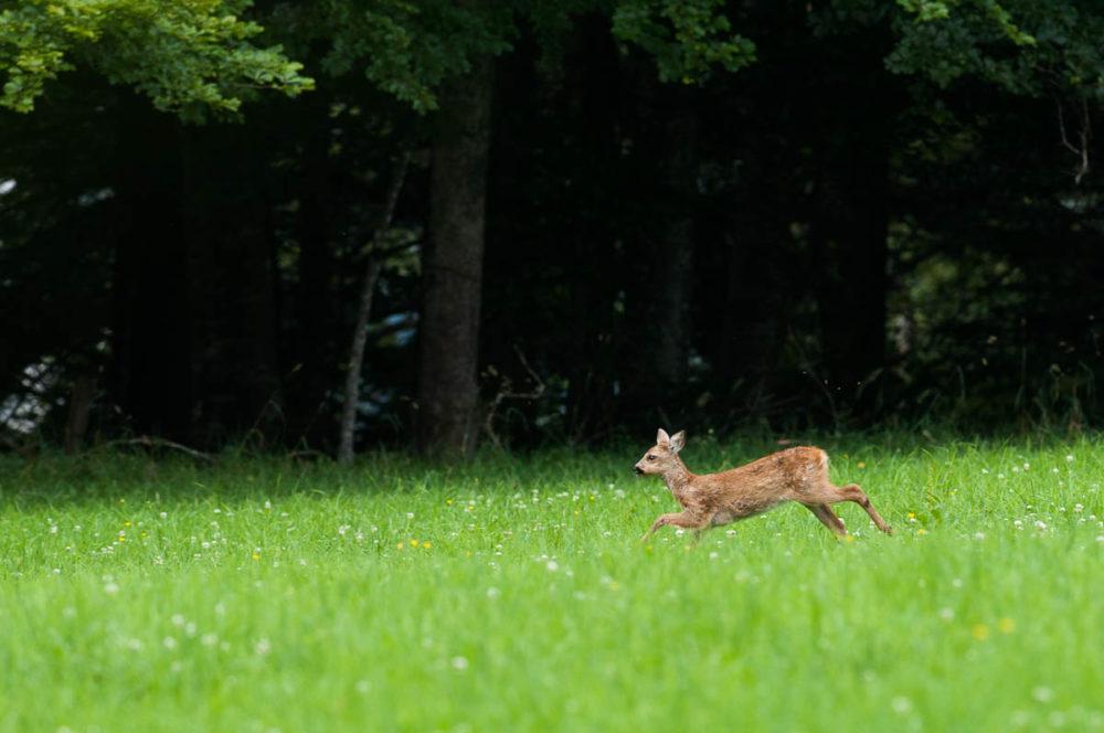 Observé en lisière de forêt, ce chevrillard parcourait le paturage boisé.