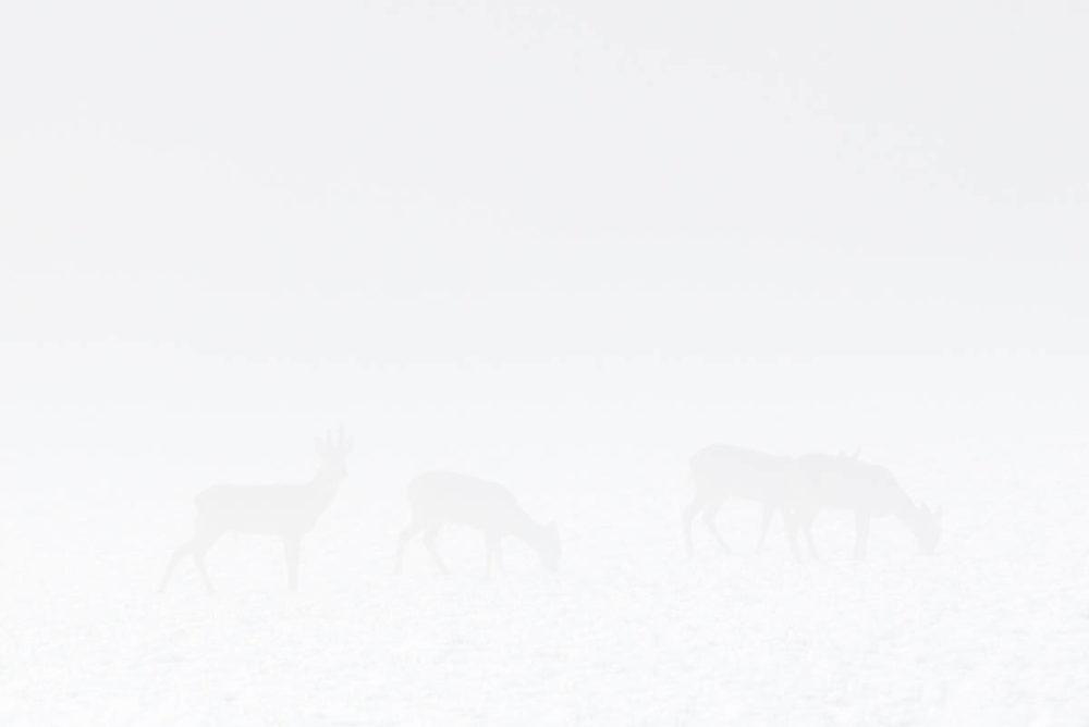 La brume du matin, comme un voile de mariée, s'est déposée sur les paysages immaculés du Vallon.En se dissipant progressivement, elle permet de percevoir petit à petit les contours du décor environnant.Puis soudain, l'oeil perdu dans tout ce blanc semble distinguer d'imperceptibles mouvements au coeur du champ.Ces silhouettes en ombres chinoises se dévoilant gentiment s'avèrent finalement être quatre chevreuils broutant paisiblement.Camouflés par quelques fines gouttes d'eau en suspension, ces derniers auront échappés à mon regard durant un long moment…