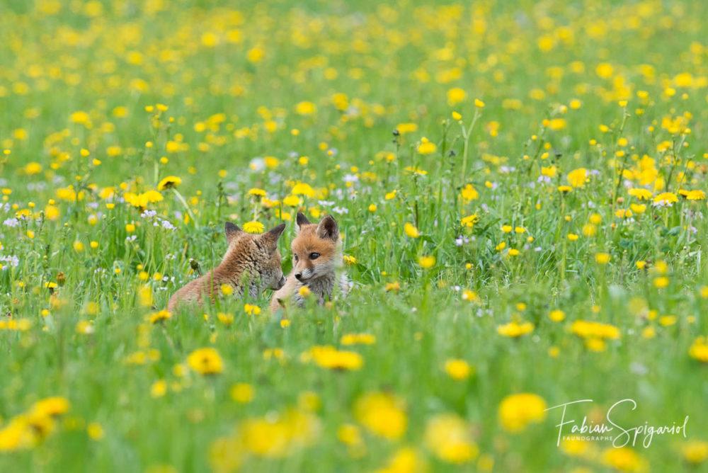 Moment de complicités entre deux renardeaux perdus dans un champ coloré de pissenlits.