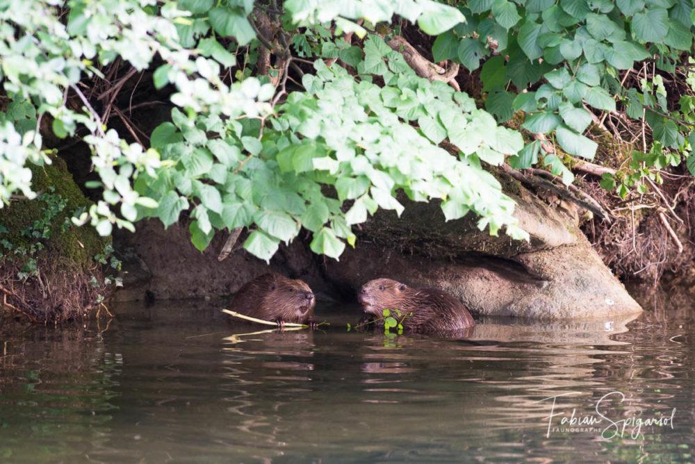 Installés discrètement dans une petite infructuosité de la rivière, les castors partagent un repas à l'abri des regards indiscrets.