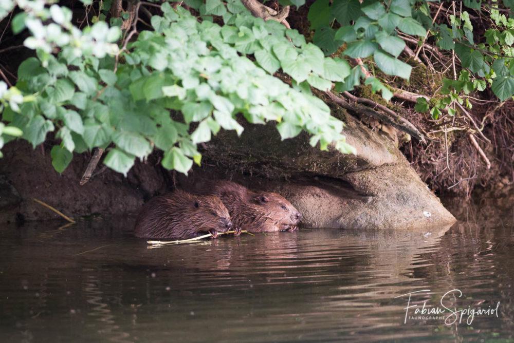 Les feuilles pour l'un, l'écorce pour l'autres: ces deux castors neuchâtelois se partagent un repas avant la tombée de la nuit.