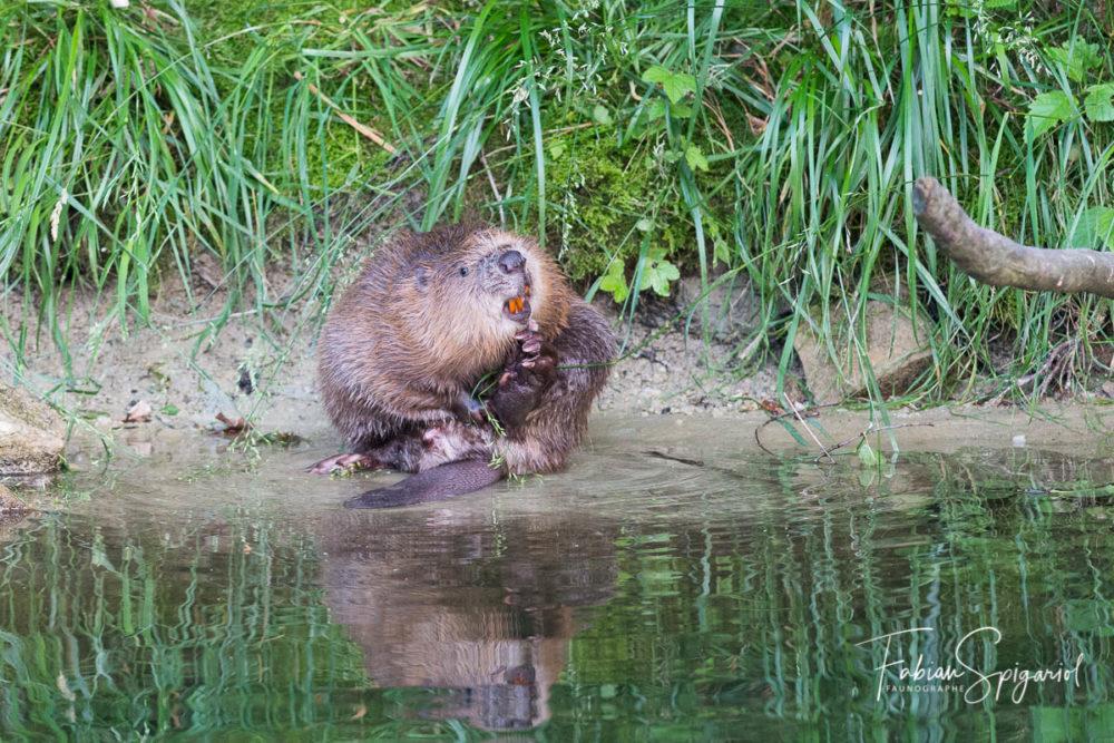 Sur les berges de l'Areuse, ce castor mâle s'offre un brin de toilette à la sortie de son terrier.