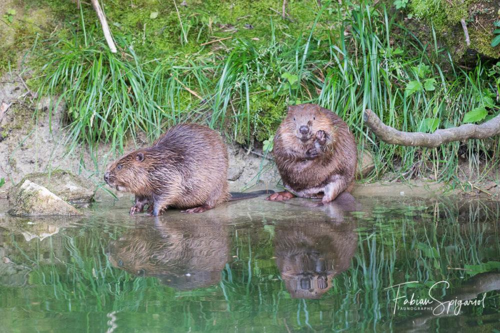 Deux castors se retrouvent sur la berge d'un cours d'eau neuchâtelois pour s'offrir un brin de toilette.
