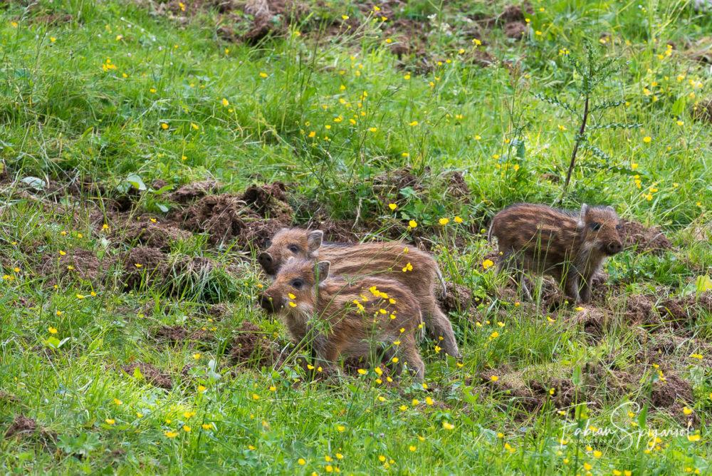 C'est en plein après-midi qu'une fratrie de marcassin a échappé à la surveillance maternelle pour venir s'aventurer dans un paturage boisé.
