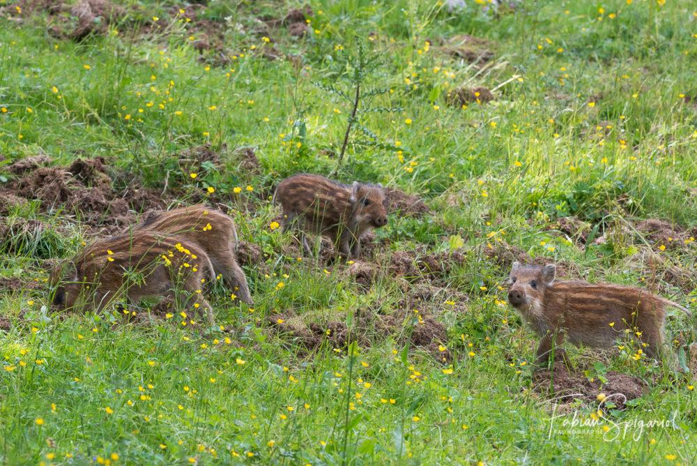 Quatre jeunes marcassins ont quitté la forêt pour s'aventurer dans le pré bien apprêtés de leurs pygamas rayés.