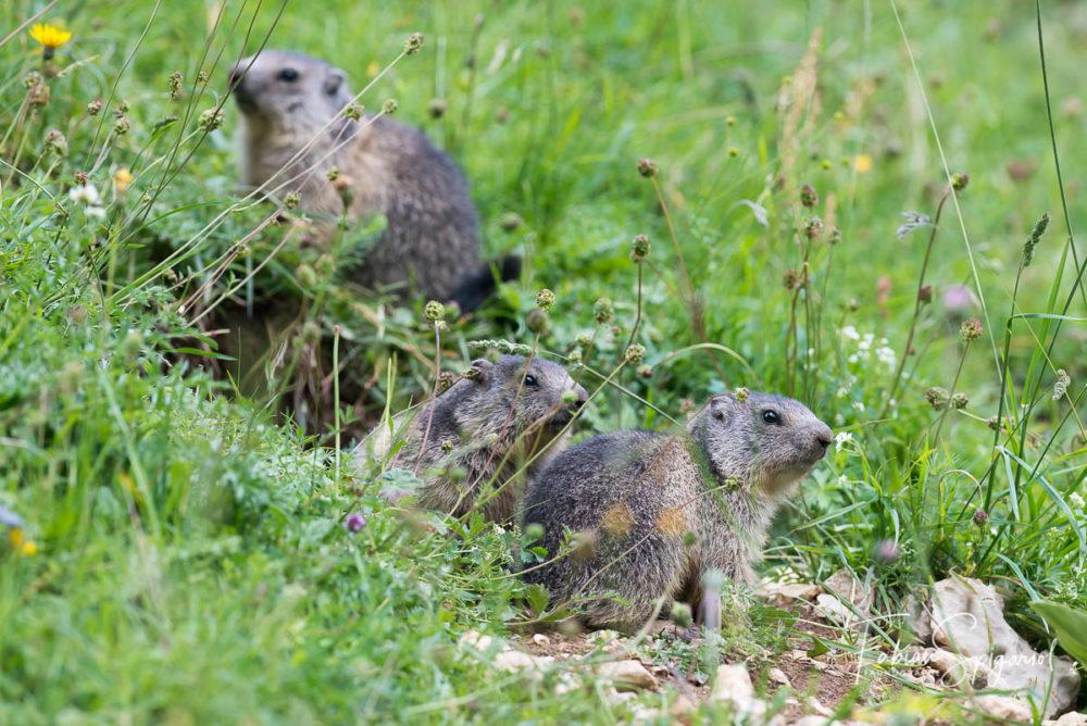 Tout d'abord peu témeraires, les marmottons s'éloignent progressivement de leur terrier pour découvrir le vaste monde...