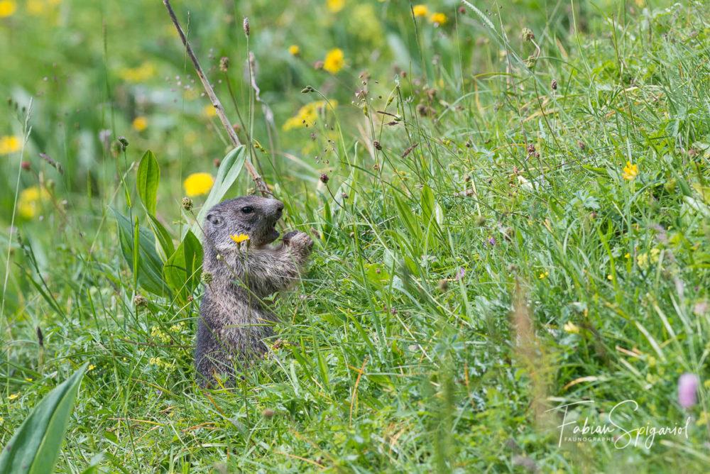 Ce jeune marmottons se nourri de feuilles gorgées de soleil glânées dans les environs de son terrier.