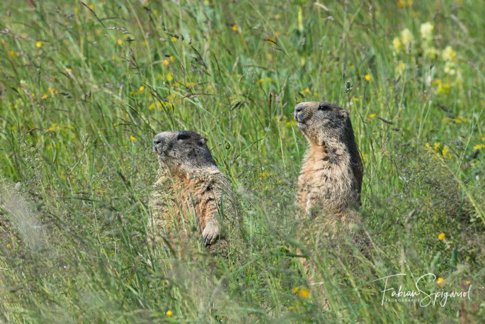 Les herbes ont bien poussé sur le terrier des marmottes, et on ne les voit plus que lorsqu'elles se mettent en chandelle.