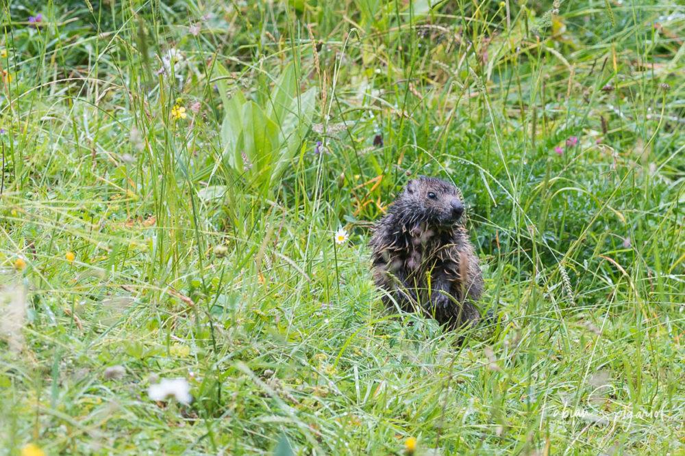 La rosée matinale qui recouvre les paturages boisés du jura neuchâtelois a suffit pour détrempé cette jeune marmotte.