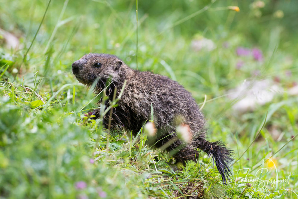 Agée d'à peine quelques semaines, cette jeune marmotte jurassienne s'aventure pour la première fois hors du terrier familial.