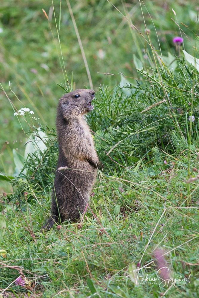 Dressé sur les pattes arrières, ce marmotton entraîne ses vocalises en sifflant durant de longues minutes...