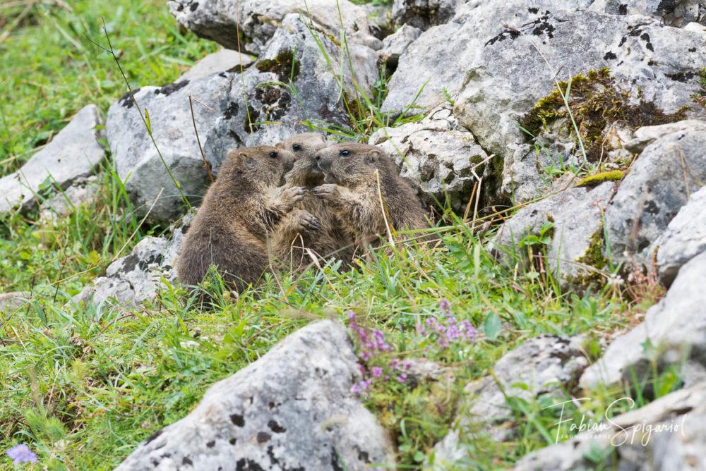 Lorsque trois marmottons se retrouvent pour papoter, le photographe se demande bien ce qu'il peuvent se raconter...