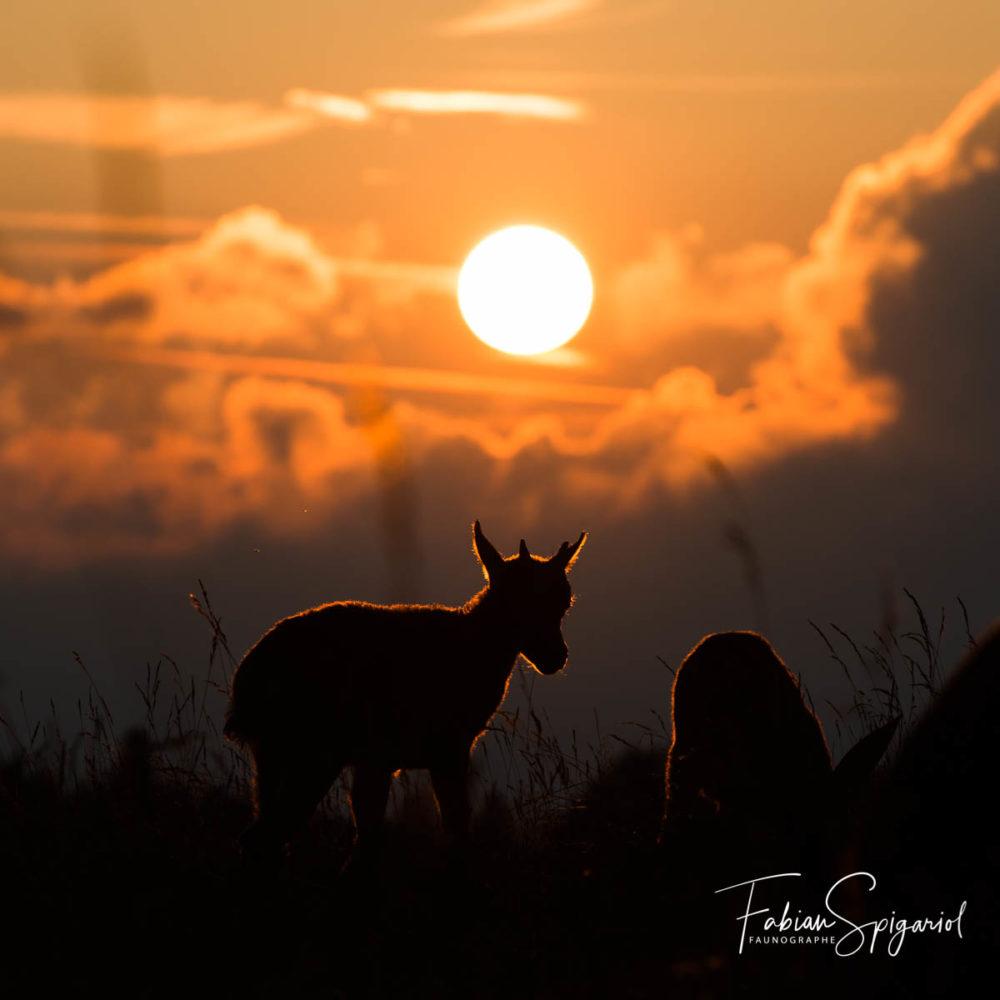 Ce jeune cabri de bouquetin se dessine en ombre chinoise face au soleil couchant dans la réserve du Creux-du-Van.