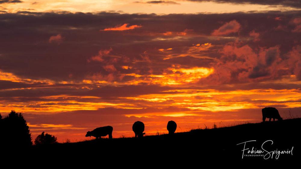 Un ciel enflammé qui laisse  de marbre le troupeau de vaches du mont-de-boveresse.